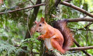 Eichhörnchen - BUND Kreisverband Stuttgart